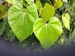 yawarpanga plant